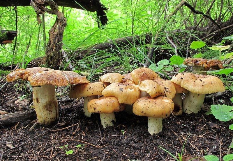 съедобные грибы валуи фото и рецепт приготовления