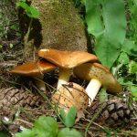 Грибы в Самаре и Самарской области (47 фото): где растут съедобные, грибные места, грибники