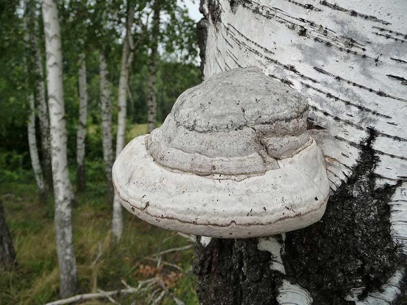 грибы на дереве фото и названия