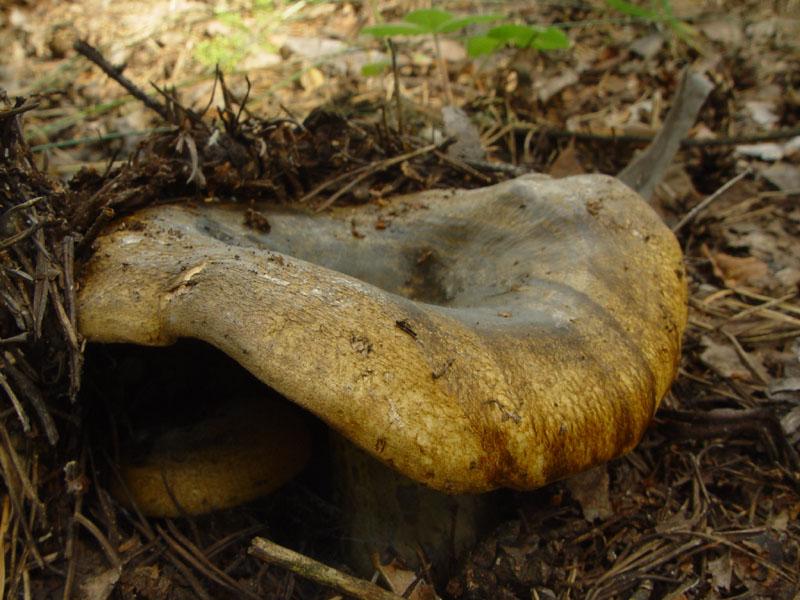 Какие грибы можно собирать: в какое время года собирают грузди, когда и где растут, когда начинают расти белые, видео
